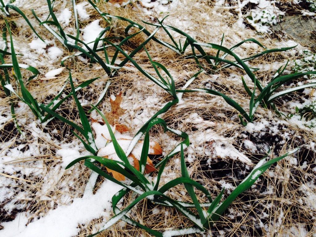 Garlic April4 2016